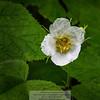 Thimbleberry (Rubus parviflorus)