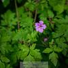 Stinky Bob (Geranium robertianum)