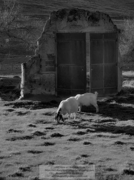 Goats and old door, Hornitos, California