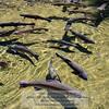 Massive trout (Oncorhynchus mykiss) at Bonneville Fish Hatchery