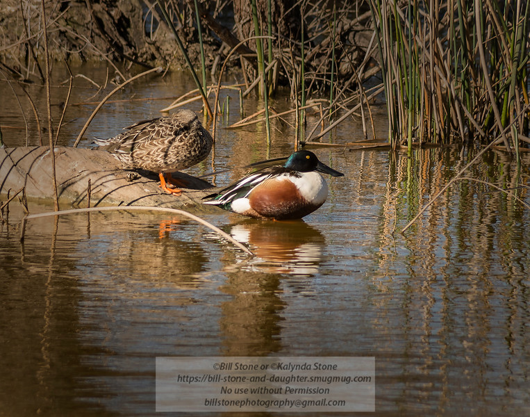 Male and Female Northern Shoveler (Anas clypeata) - Sacramento National Wildlife Refuge