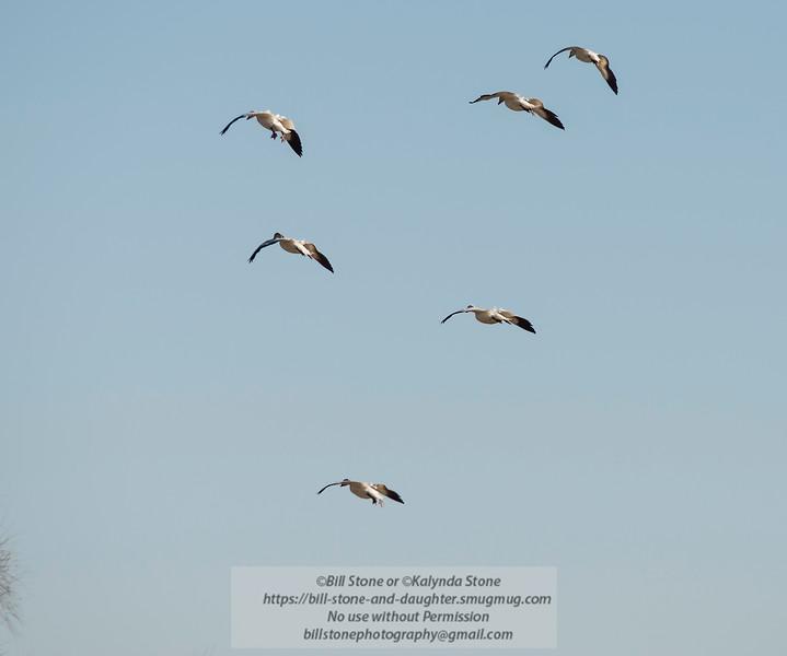 Snow Geese (Chen caerulescens) - Sacramento National Wildlife Refuge