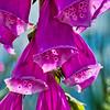 Flower 3<br /> Passepartout 40x30<br /> <br /> Photo Silk Baryta 310 ist ein weißes, seidenglänzendes Barytpapier mit der Anmutung eines klassischen Dunkelkammer Fotopapiers. Die einzigartige Bariumsulfatbeschichtung sorgt für ein außergewöhnliches Bildergebnis mit sehr großem Farbraum, cremigen Weißtönen und samtig tiefem Schwarz.