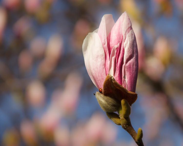 Morning Magnolias
