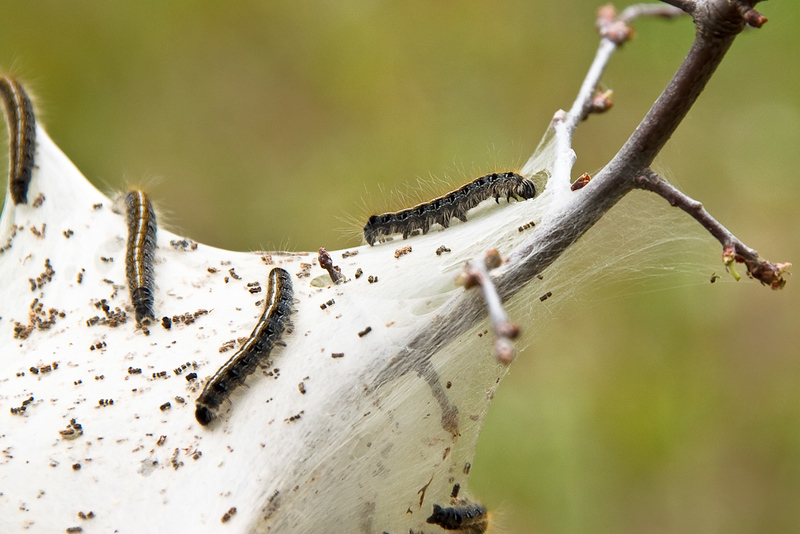 Tent Caterpillar Nest