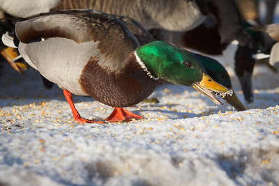 'Smiling' Duck