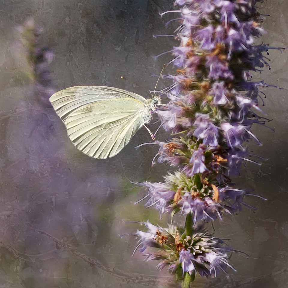 Mustard White Butterfly