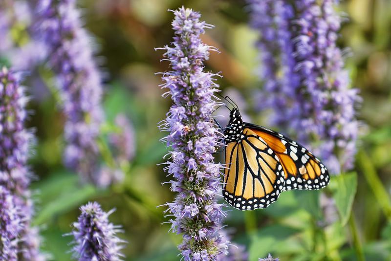 Garden Monarch