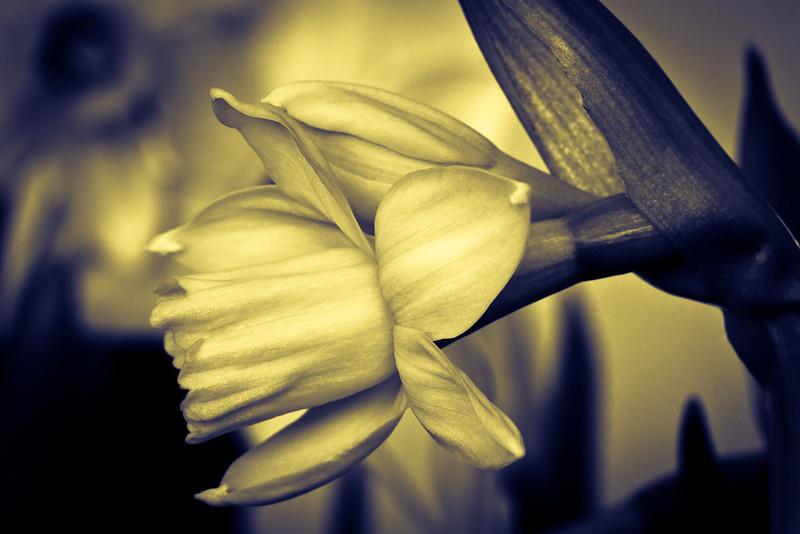 Moody Daffodils