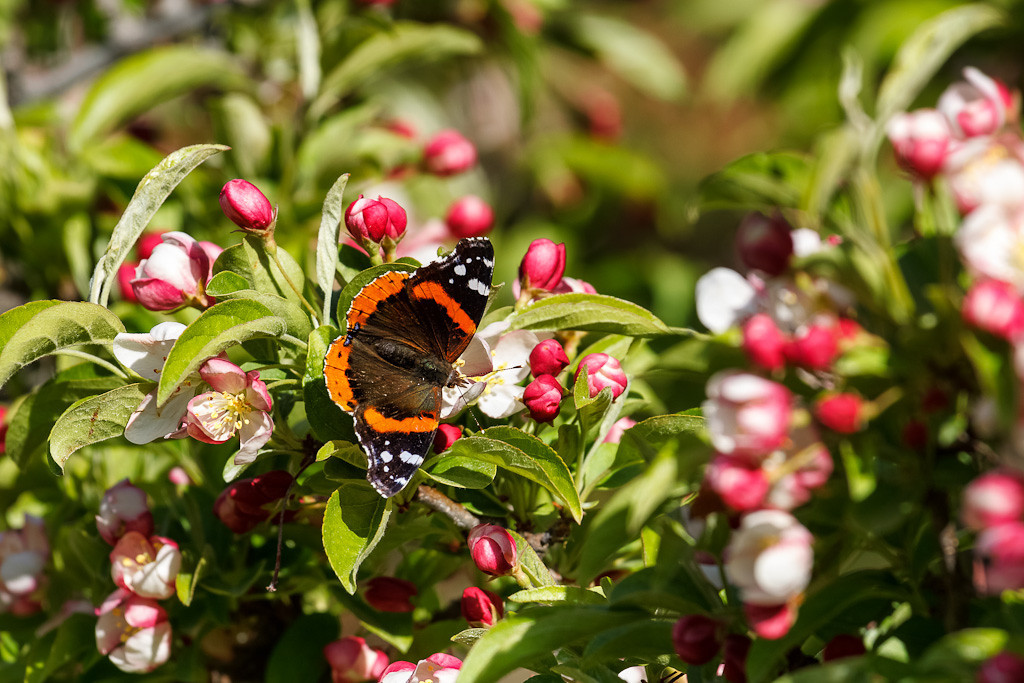 Red Admiral #4