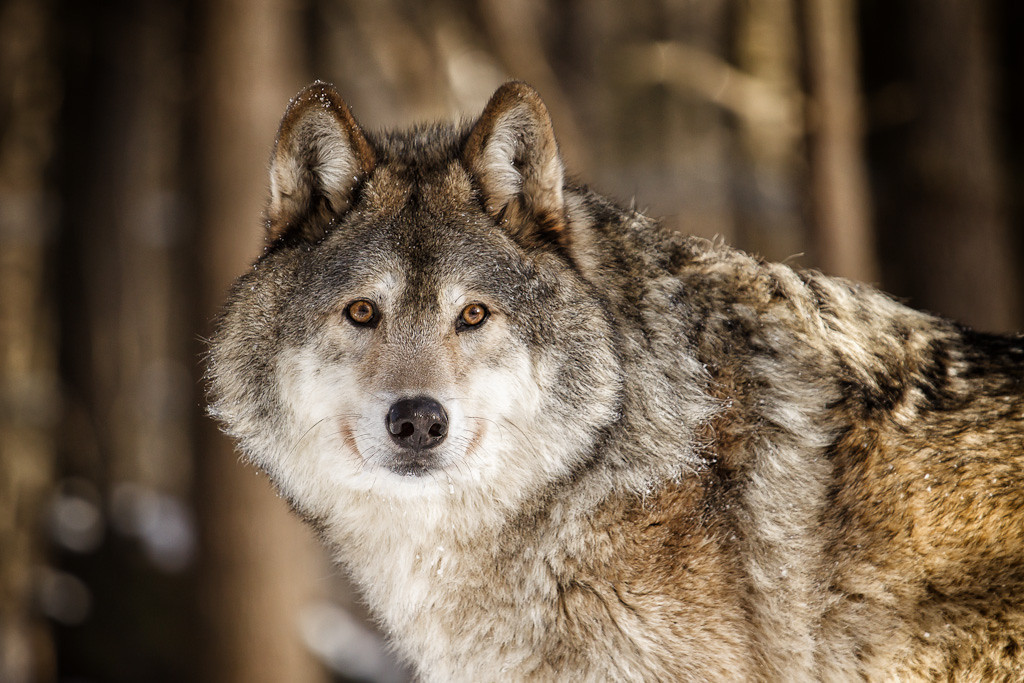 Akayla the Gray Wolf