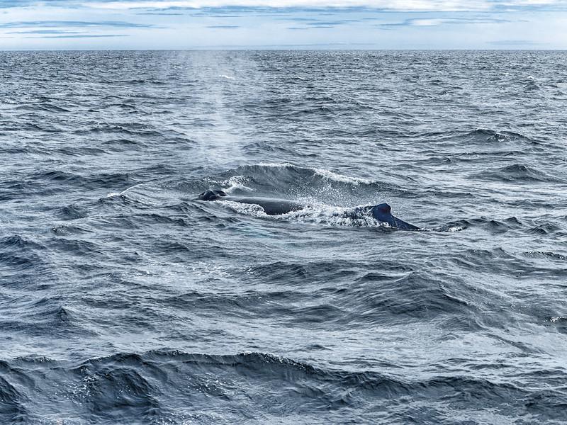 Newfoundland Trip #23 - Humpback Whale