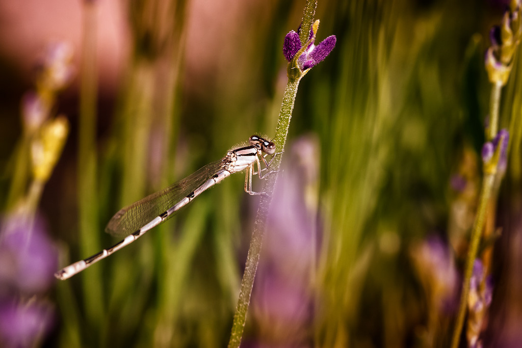 Damselfly in Lavender