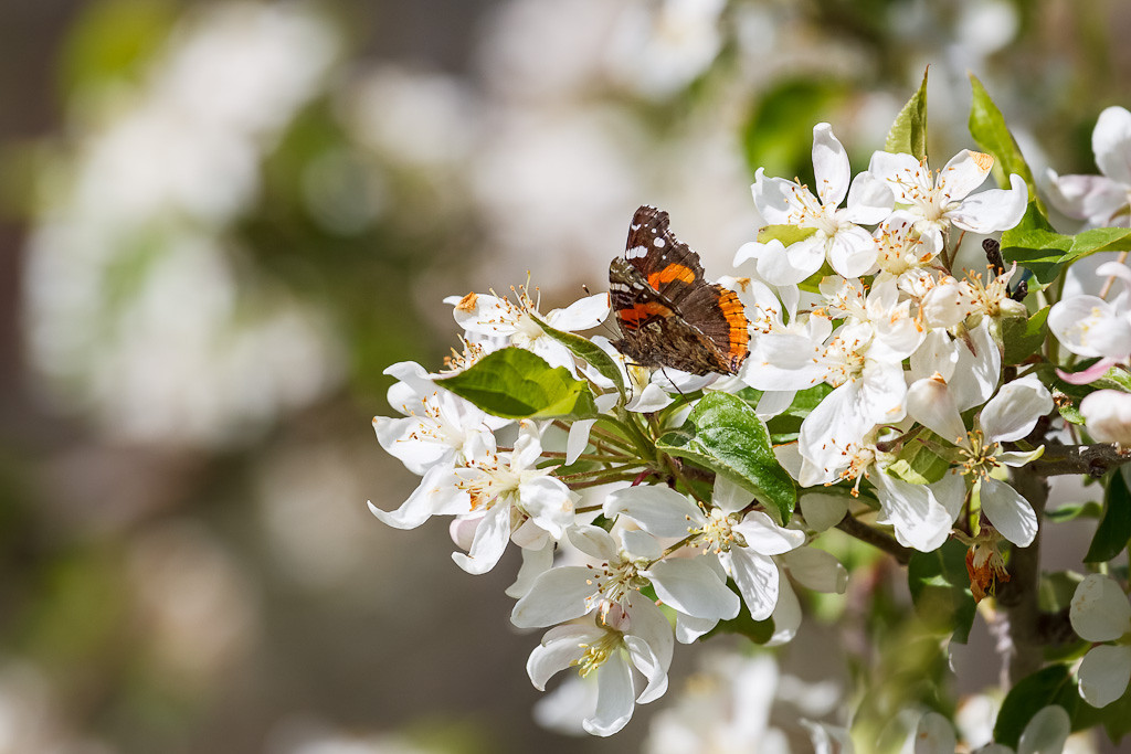 Red Admiral #1