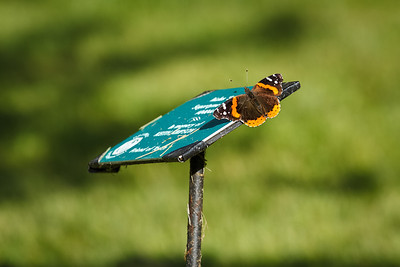 Red Admiral #5
