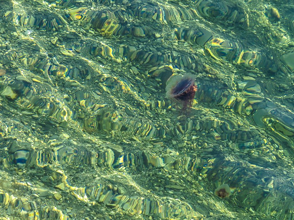 Newfoundland Trip #49 - Jellyfish