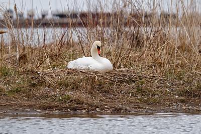 Nesting Swans #12