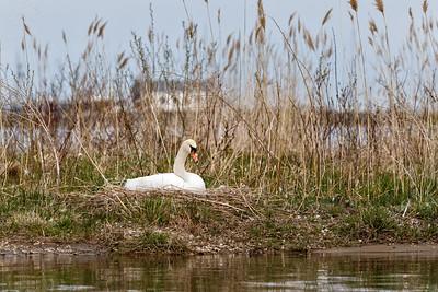 Nesting Swans #16