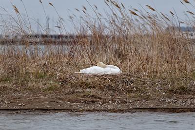 Nesting Swans #11