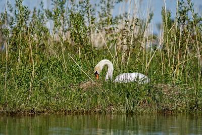 Nesting Swans #35