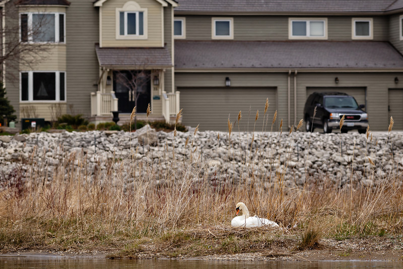 Nesting Swans #15