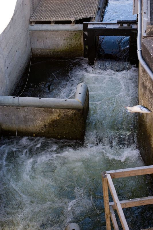 salmon leaping up the fish ladder at Ballard Locks