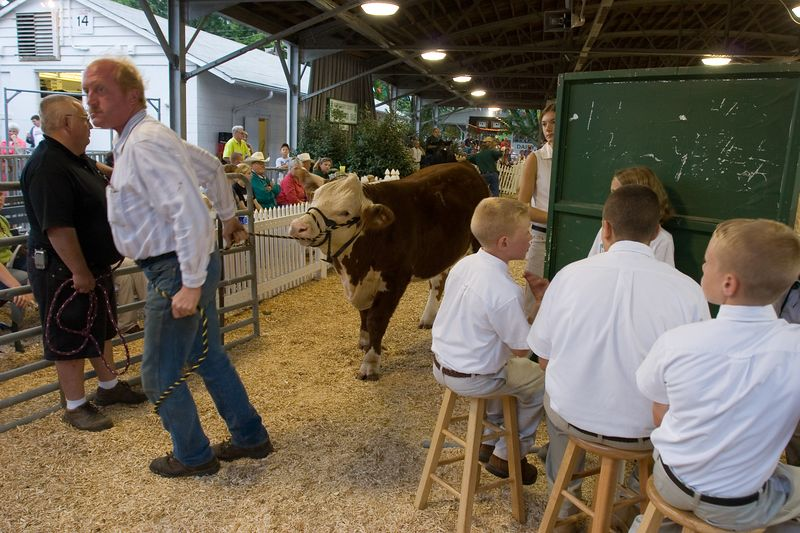 an auctioned cow is taken back to its pen while the 4H kids look on
