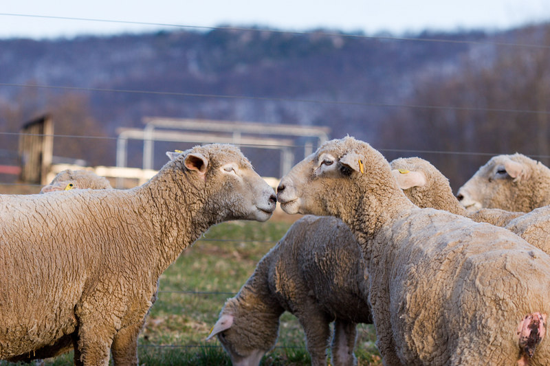Two ewes appearing to kiss.