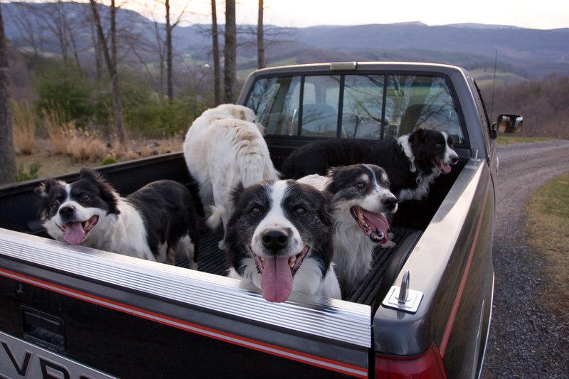 Truck full o' dogs.