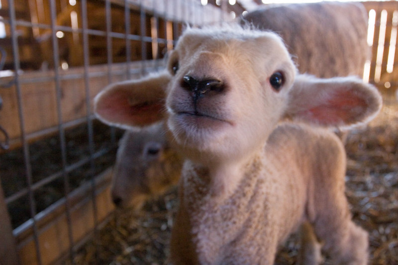4-day old lamb doing cute things with its ears