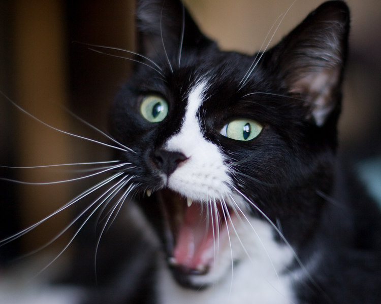 pavie mid-yawn