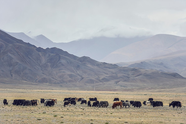 Yaks of Mongolia