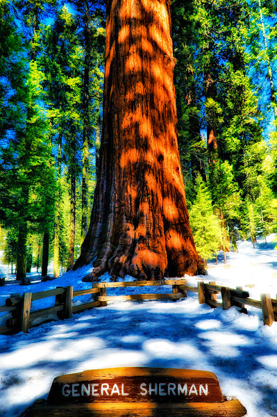 The General Sherman is a giant sequoia (Sequoiadendron giganteum) tree located in the Giant Forest of Sequoia National Park in Tulare County, California. By volume, it is the largest known living single stem tree on Earth. The General Sherman Tree is neither the tallest known living tree on Earth (that distinction belongs to the Hyperion tree, a Coast redwood),  nor is it the widest (both the largest cypress and largest baobab have a greater diameter), nor is it the oldest known living tree on Earth (that distinction belongs to the Methuselah tree, a Great Basin bristlecone pine). With a height of 83.8 metres (275 ft), a diameter of 7.7 metres (25 ft), an estimated bole volume of 1,487 cubic metres (52,513 cu ft), and an estimated age of 2,300 – 2,700 years, it is however among the tallest, widest and longest-lived of all trees on the planet.