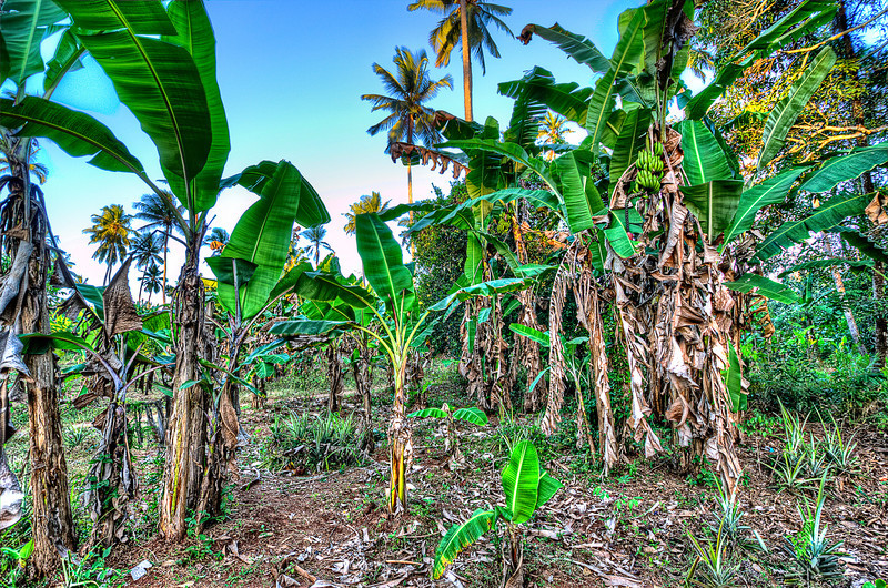Musa acuminata is a species of wild banana. First cultivated by humans around 8000 years ago, it is one of the earliest examples of domesticated plants.<br /> <br /> Inside banana plantation. Zanzibar.