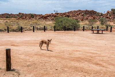 Lonely Dingo in the middle of Australia