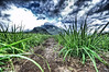 Down in sugar corn field of Mauritius