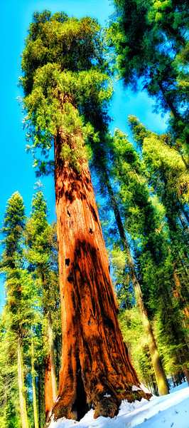 """Sequoiadendron giganteum (giant sequoia, Sierra redwood, Sierran redwood, or Wellingtonia) is the sole living species in the genus Sequoiadendron, and one of three species of coniferous trees known as redwoods, classified in the family Cupressaceae in the subfamily Sequoioideae, together with Sequoia sempervirens (coast redwood) and Metasequoia glyptostroboides (dawn redwood). The common use of the name """"sequoia"""" generally refers to Sequoiadendron, which occurs naturally only in groves on the western slopes of the Sierra Nevada Mountains of California.<br /> Giant sequoias are the world's largest trees in terms of total volume. They grow to an average height of 50–85 metres (160–279 ft) and 6–8 metres (20–26 ft) in diameter. Record trees have been measured to be 94.8 metres (311 ft) in height and over 17 metres (56 ft) in diameter.<br /> The oldest known giant sequoia based on ring count is 3,500 years old."""