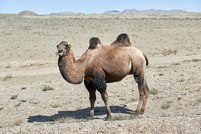 Camel surprise to see humans. Mongolia.