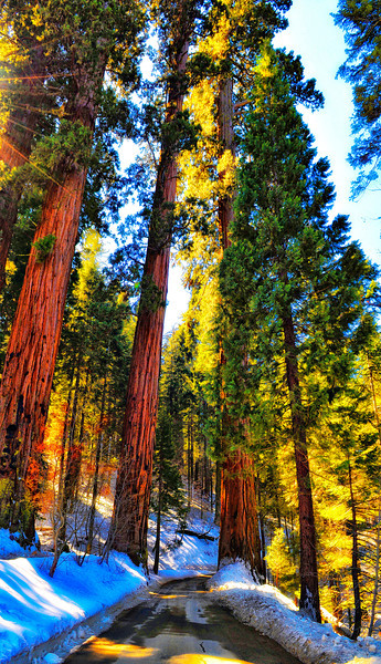 Giant Forest, Sequoia National Park, California