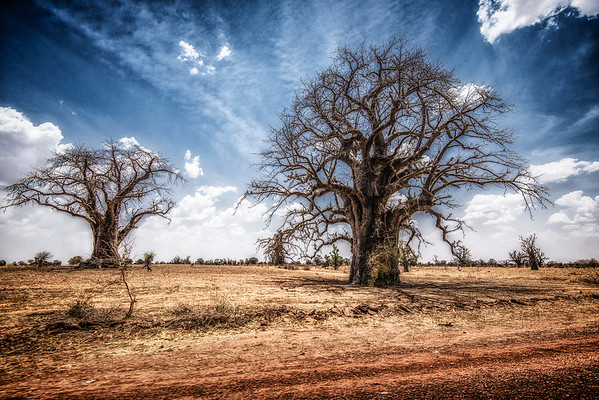 1000 years. Baobabs in MALI.