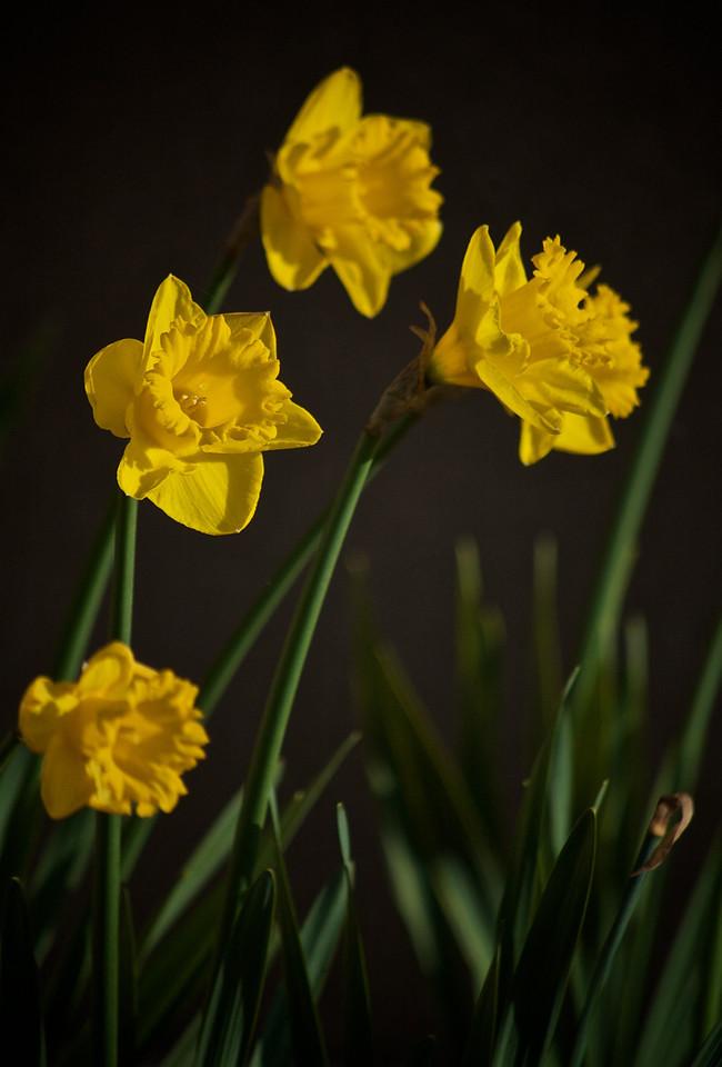 Daffodil Quartet