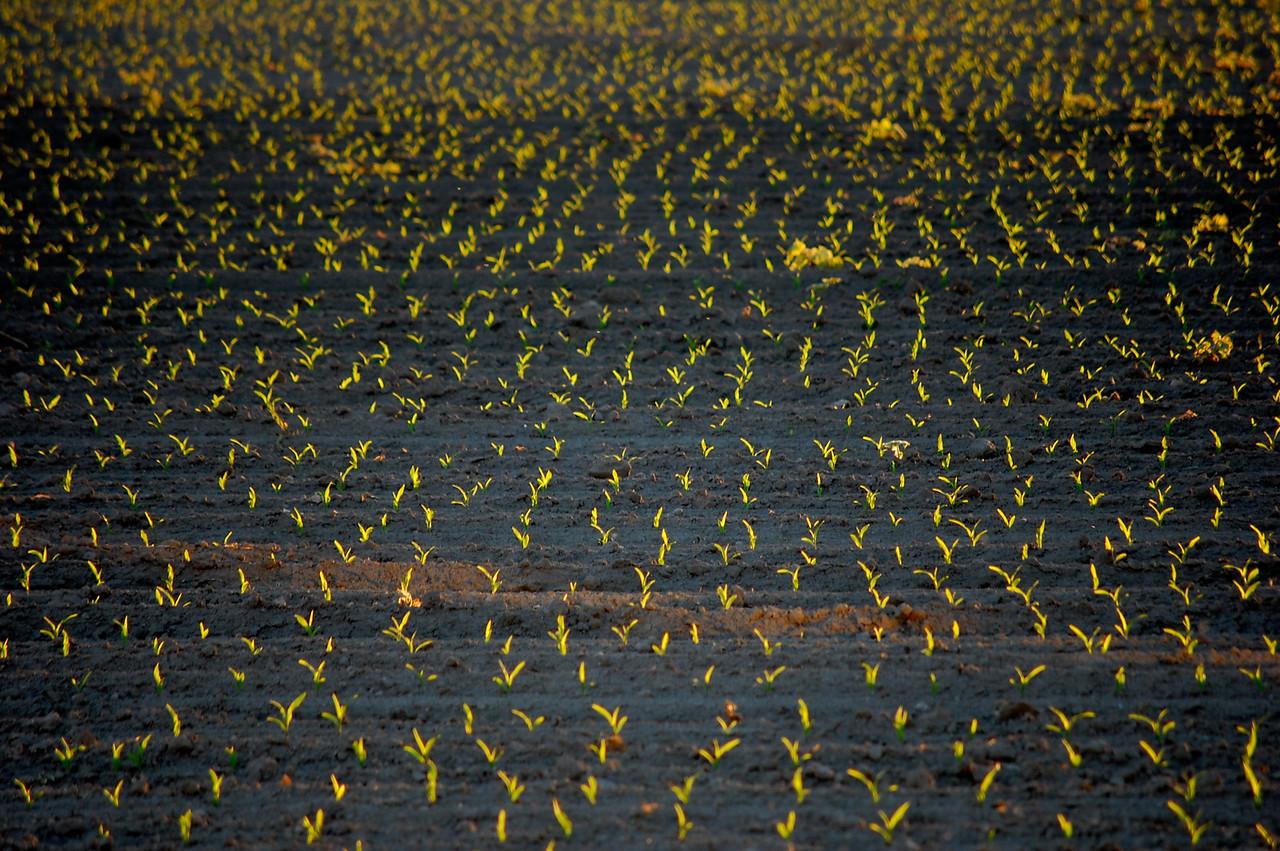 Corn-on-the-Cob, mid-June
