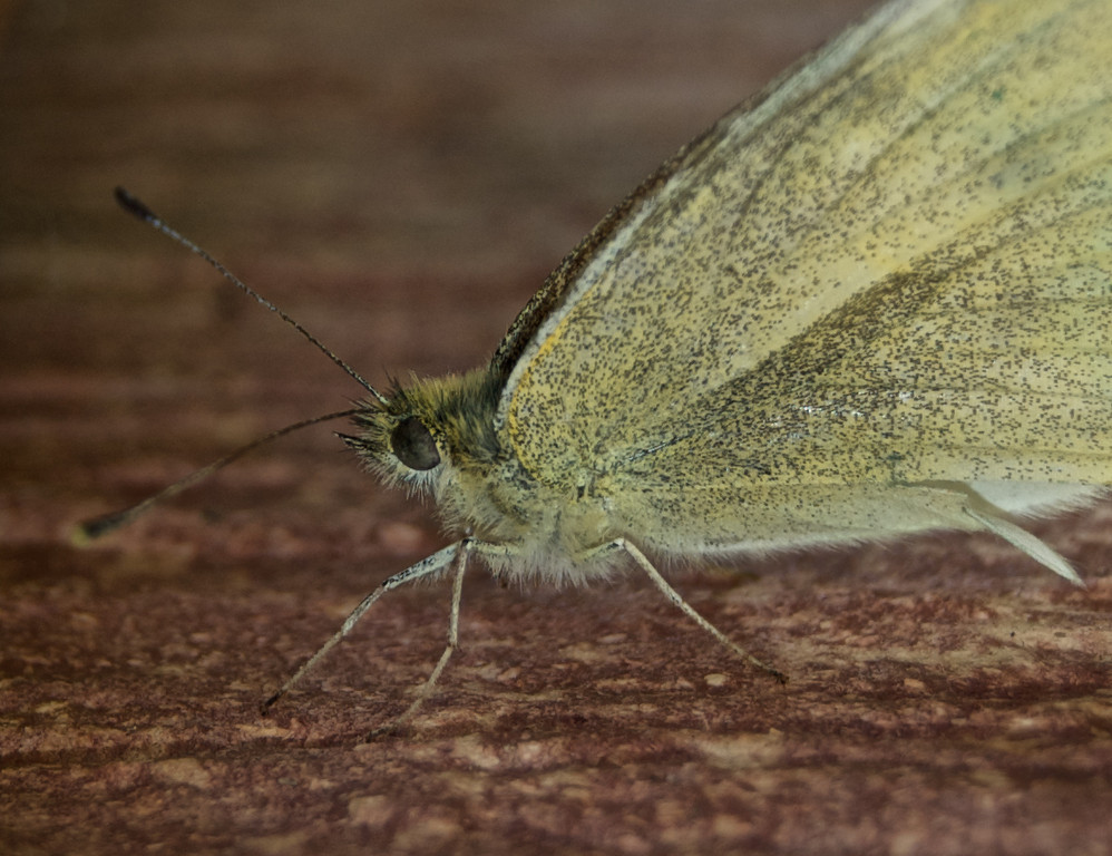 Cutworm Moth