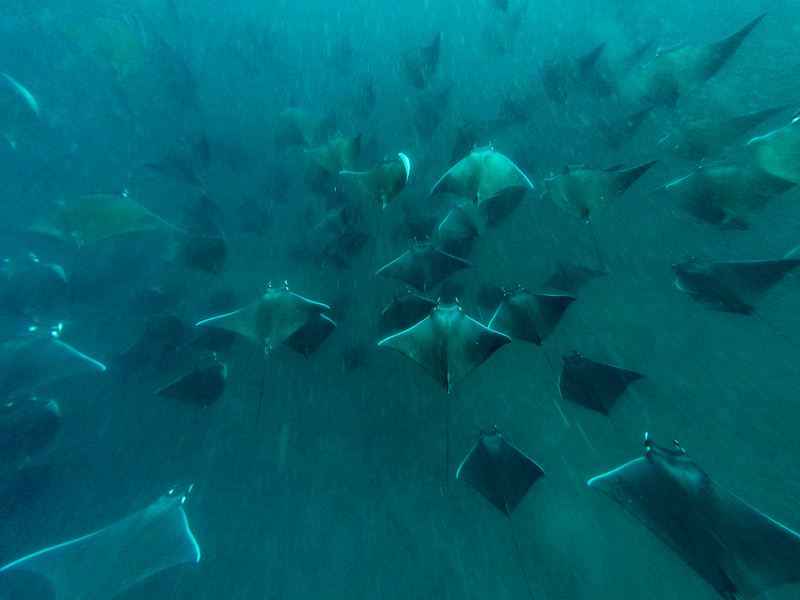 Mobula Rays In Formation, Gulf Of California, Baja California Sur, Mexico, North America
