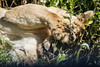 A lioness covers her face with her paw in Nogorongoro Crater