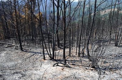 Eucalyptus trees spread fires fast
