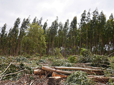Proportionally, Portugal now has more eucalyptus than anywhere in the world.