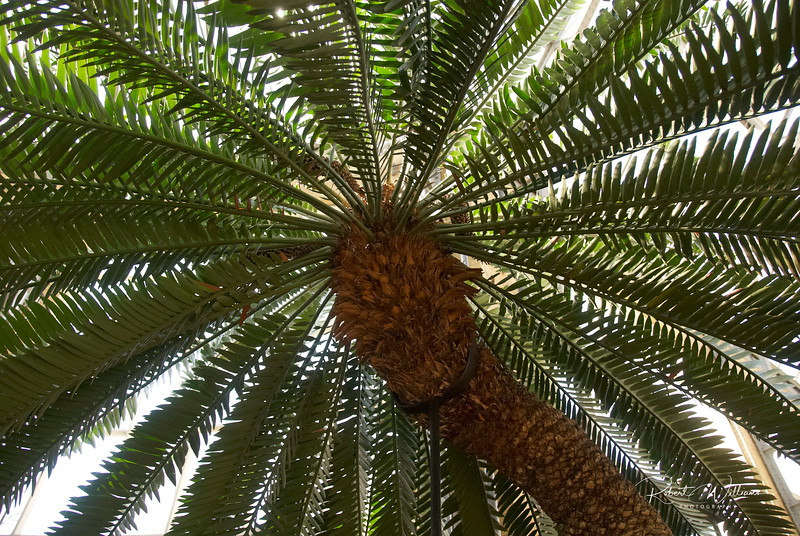 Detail of a Palm tree in the Palm Greenhouse, Amsterdam Botanical Gardens