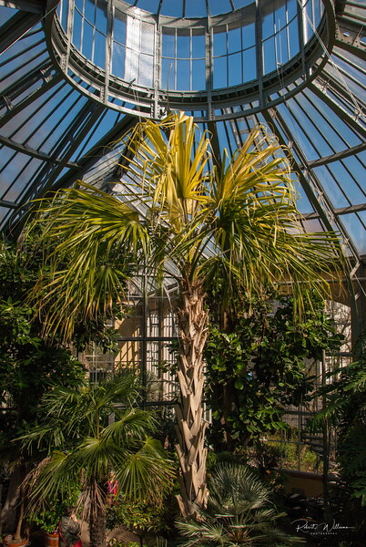 A Palm tree in the Palm Greenhouse, Amsterdam Botanical Gardens