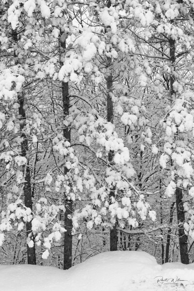 Trees After a Snowstorm